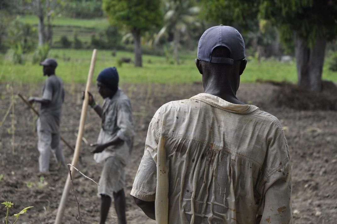 Haitian farmers working hard in field