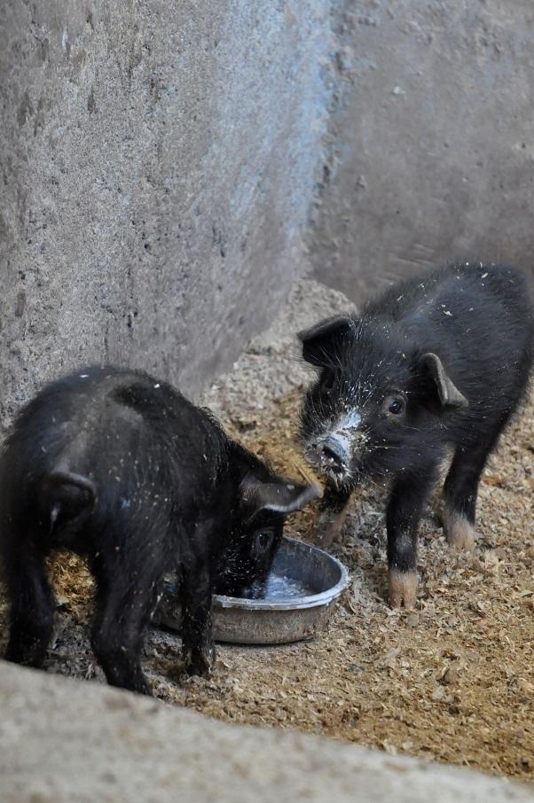 Haiti Farm Pig