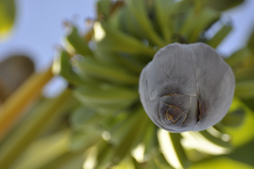 Banana flower in Haiti