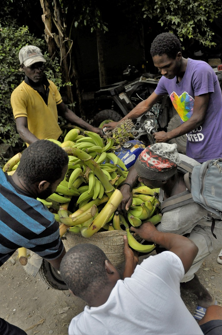 Haitian farmers secure load of bananas to motorcycle