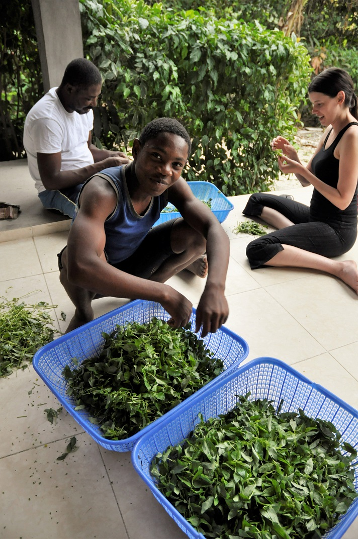 Haitian picks herbs and spices after harvest
