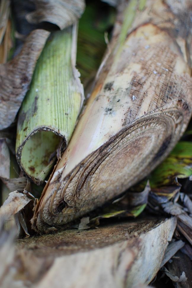 Banana plant cut down by machete